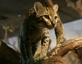 Terra Natura Benidorm veterinarians manage to save an ocelot pup that had suffered a severe traumatism