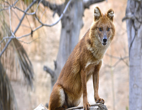 Terra Natura Benidorm joins the European Committee  (EEP) of dholes
